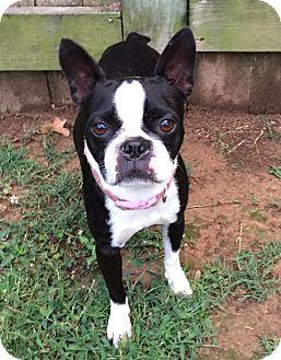 Boston Terrier Mix Dog for adoption in Courtland, Alabama - Wendy