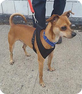 Chihuahua/Miniature Pinscher Mix Dog for adoption in Bronx, New York - Dexter