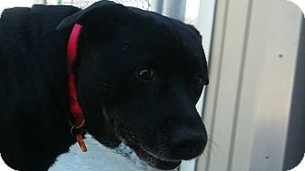 Labrador Retriever/Pit Bull Terrier Mix Dog for adoption in Fremont, Michigan - Oman