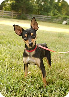 Miniature Pinscher/Chihuahua Mix Dog for adoption in Washington, D.C. - Lucy