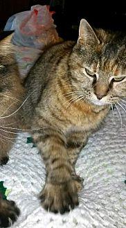 Polydactyl/Hemingway Cat for adoption in Cincinnati, Ohio - zz 'Jasmine' courtesy post