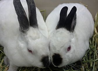Mini Rex Mix for adoption in Los Angeles, California - Teacup