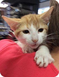 Domestic Shorthair Kitten for adoption in Breinigsville, Pennsylvania - Simba