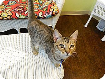 Domestic Shorthair Kitten for adoption in The Colony, Texas - Greta