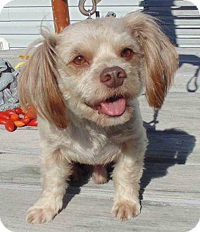 Shih Tzu Mix Dog for adoption in Washington court House, Ohio - Luke