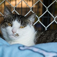 Domestic Shorthair Cat for adoption in Freeport, New York - Freckles