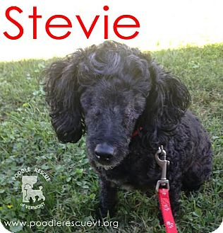 Poodle (Miniature) Mix Dog for adoption in Essex Junction, Vermont - Stevie