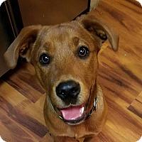 Adopt A Pet :: koda - Fredericksburg, VA