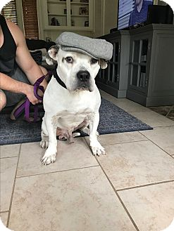 American Bulldog Dog for adoption in Bryan, Texas - Ajax
