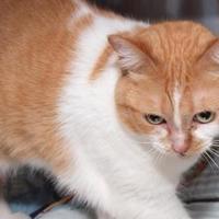Adopt A Pet :: Iggie - Jackson, MI