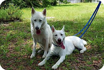 Husky Dog for adoption in New Smyrna Beach, Florida - Stella