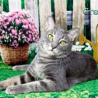 Domestic Shorthair Cat for adoption in Encino, California - Miss Greyson