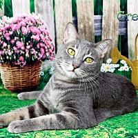 Adopt A Pet :: Miss Greyson - Encino, CA