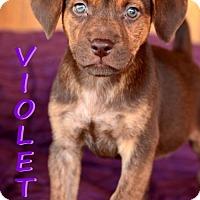 Adopt A Pet :: Violet - tucson, AZ