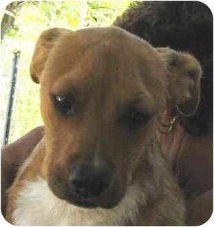 Boxer/Labrador Retriever Mix Puppy for adoption in Poway, California - Cooper