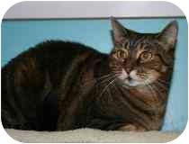 Domestic Shorthair Cat for adoption in Marietta, Georgia - Natasha