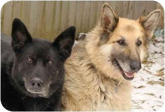 German Shepherd Dog Dog for adoption in Chicago, Illinois - Shelby & Ace