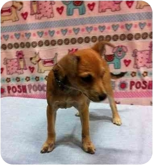 Chihuahua Mix Puppy for adoption in Broomfield, Colorado - Sugar