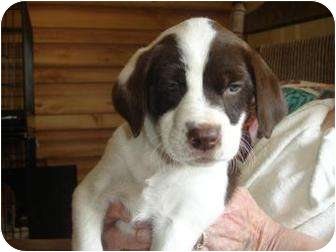 English Springer Spaniel/Hound (Unknown Type) Mix Puppy for adoption in Old Bridge, New Jersey - Begonia