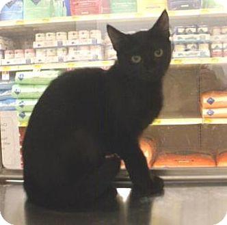 Domestic Shorthair Kitten for adoption in Houston, Texas - Frances