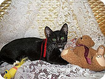 Domestic Shorthair Cat for adoption in Cypress, Texas - Mittens