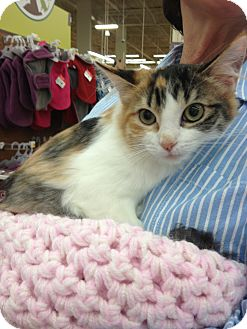 Calico Kitten for adoption in Vero Beach, Florida - Sophie