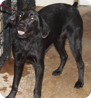 Labrador Retriever Mix Dog for adoption in Oak Brook, Illinois - Eli
