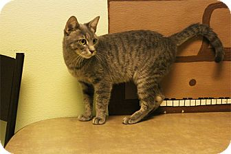 Domestic Shorthair Cat for adoption in Elyria, Ohio - Baby