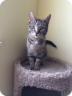 Domestic Shorthair Kitten for adoption in Chesterfield Township, Michigan - Tabitha
