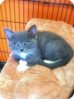 Domestic Shorthair Kitten for adoption in Westminster, California - Dexter