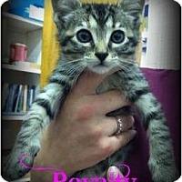 Adopt A Pet :: Royalty - Orlando, FL