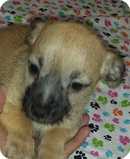 Shih Tzu/Chihuahua Mix Puppy for adoption in Saddle Brook, New Jersey - Dallas
