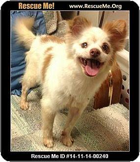 Pomeranian Mix Dog for adoption in Phoenix, Arizona - Tina