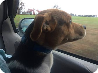 Beagle/Jack Russell Terrier Mix Dog for adoption in Smithfield, North Carolina - Buddy
