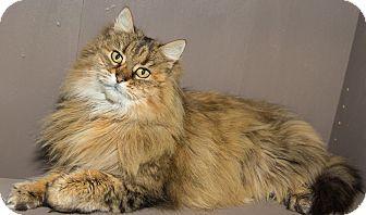 Maine Coon Cat for adoption in Seville, Ohio - Vixen