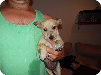 Terrier (Unknown Type, Small) Mix Puppy for adoption in Landers, California - FIZZY