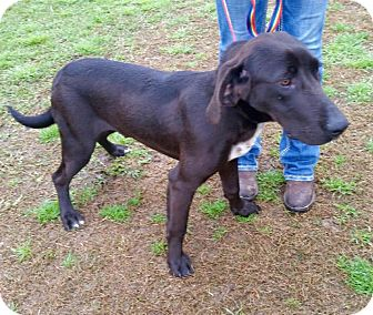 German Shorthaired Pointer/Labrador Retriever Mix Dog for adoption in Beaumont, Texas - CAPONE