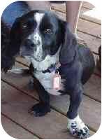 Basset Hound Mix Dog for adoption in Republic, Washington - Oscar