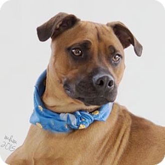 Boxer Mix Dog for adoption in Naperville, Illinois - Scout