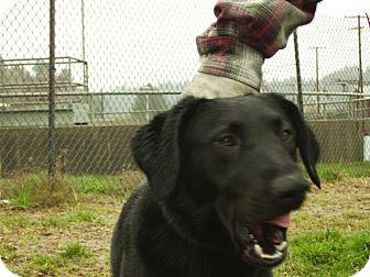 Labrador Retriever Mix Dog for adoption in Reedsport, Oregon - Bounder