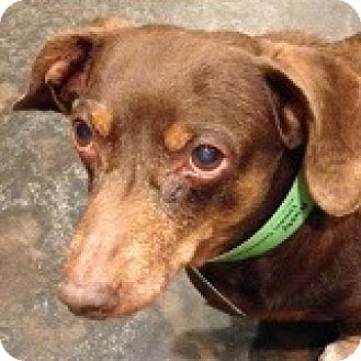 Dachshund Dog for adoption in Houston, Texas - Rusty Riedenberger