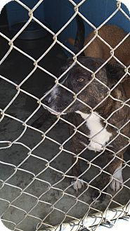 Pit Bull Terrier/Labrador Retriever Mix Dog for adoption in Salisbury, North Carolina - Franklin