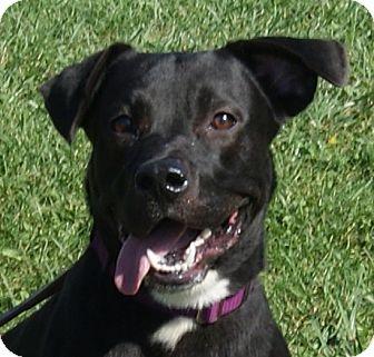 Flat-Coated Retriever Mix Dog for adoption in Monroe, Michigan - Nash