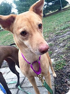 Pharaoh Hound Mix Dog for adoption in Hanna City, Illinois - Vinnie-in foster
