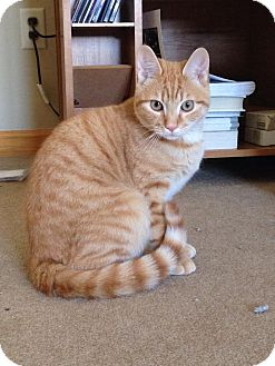 Domestic Shorthair Cat for adoption in Plainville, Connecticut - Payton