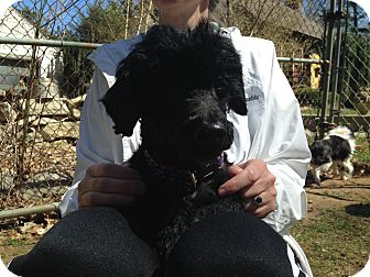 Poodle (Miniature) Dog for adoption in Waterford, Connecticut - Rocky