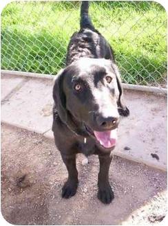 Labrador Retriever Mix Dog for adoption in Cold Lake, Alberta - Askhim