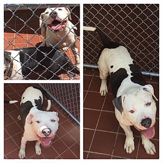 American Pit Bull Terrier/American Bulldog Mix Dog for adoption in Everman, Texas - Chewy