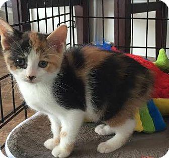 Domestic Shorthair Kitten for adoption in Toronto, Ontario - Nugget