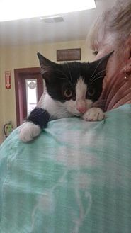 Domestic Shorthair Cat for adoption in Fayetteville, West Virginia - Rosalee